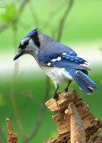 Blue Jay On His Perch by tigger3, photography->birds gallery