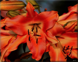 Lily Bright by tigger3, photography->flowers gallery