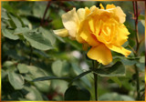 Double Yellow Rose by verenabloo, Photography->Flowers gallery