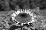 In The Sun Flower by bfrank, contests->b/w challenge gallery