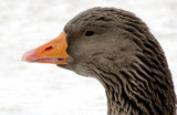 Goose by ptcappella, Photography->Birds gallery
