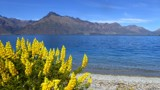Lake Wakatipu - Lupins By The Lake by LynEve, photography->water gallery