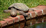 The Snapper by tigger3, photography->reptiles/amphibians gallery