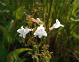Air Station Prairie - Beard Tongue Foxglove by trixxie17, photography->flowers gallery