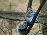 Grey Squirel by gerryp, photography->animals gallery