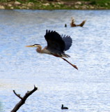 Heron in Flight by Pistos, photography->birds gallery