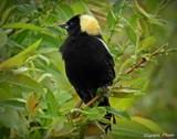 Bobolink by GIGIBL, photography->birds gallery