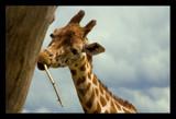 Giraffe by JQ, Photography->Animals gallery