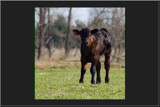 Angus Is My Name by tigger3, Photography->Animals gallery