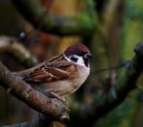 Tree Sparrow by biffobear, photography->birds gallery