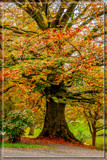 Autumnal Chestnut Tree by corngrowth, photography->nature gallery