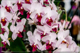 F² Orchids 8 by corngrowth, photography->flowers gallery