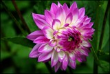 Dahlia by LynEve, photography->flowers gallery