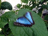 Blue Morph by mimi, photography->butterflies gallery