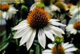 Prarie Coneflower by trixxie17, photography->flowers gallery