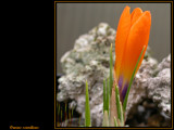 Crocus scardicus by od0man, Photography->Flowers gallery