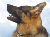German Shepherd by plgrm1010, Photography->Pets gallery