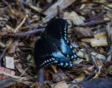 Black Swallowtail by Pistos, photography->butterflies gallery