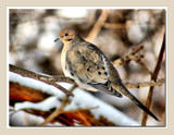 Mourning Dove Portrait by gerryp, Photography->Birds gallery