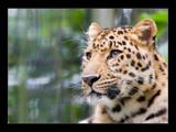 Felis onca by kodo34, Photography->Animals gallery