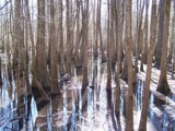 Cypress Swamp by Mvillian, photography->landscape gallery