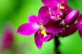 Geisha by Samatar, Photography->Flowers gallery