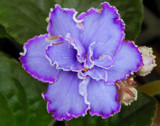 African Violet by trixxie17, photography->flowers gallery