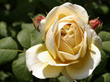 Yellow Rose by bikolnon, Photography->Flowers gallery