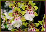 Dendrobium Orchids by trixxie17, photography->flowers gallery