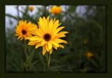 Fridaisy by LynEve, photography->flowers gallery