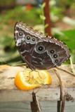 Sweet Treat by NurseMel, Photography->Butterflies gallery