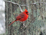 Big Cardinal by brandondockery, photography->birds gallery