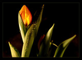 Tulip by JQ, Photography->Flowers gallery