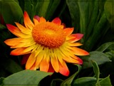 Sunday Flame Strawflower by trixxie17, photography->flowers gallery