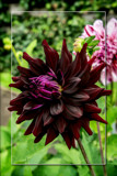 Dahlia Show 11 by corngrowth, photography->flowers gallery