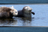 Seals in Helgoland by raminalexander, Photography->Animals gallery