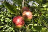 Rich Apples in Autumns Garden by krx, photography->gardens gallery