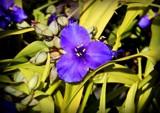 Widow's Flower by trixxie17, photography->flowers gallery