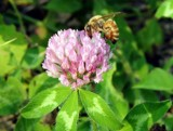 Bee on Clover by RickM, photography->insects/spiders gallery