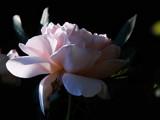 """Ambridge"" by Pixleslie, Photography->Flowers gallery"