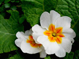 Pretty Primulas by braces, Photography->Flowers gallery