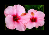 HIBISCUS TWOSOME by pikman, Photography->Flowers gallery
