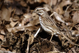 Hidden Song Sparrow by theradman, Photography->Birds gallery