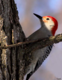 The Red-Bellied Woodpecker by tigger3, photography->birds gallery
