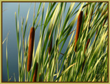 Cattails! by Starglow, Photography->Nature gallery