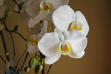 White Orchids by jeenie11, photography->flowers gallery