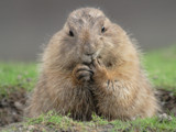 Ground hog by Paul_Gerritsen, Photography->Animals gallery