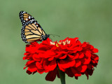 Monarch Royalty by ladyred, Photography->Butterflies gallery