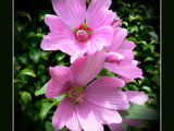 Rose Mallow by LynEve, Photography->Flowers gallery