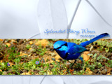 Splendid Fairy Wren by Samatar, Photography->Birds gallery